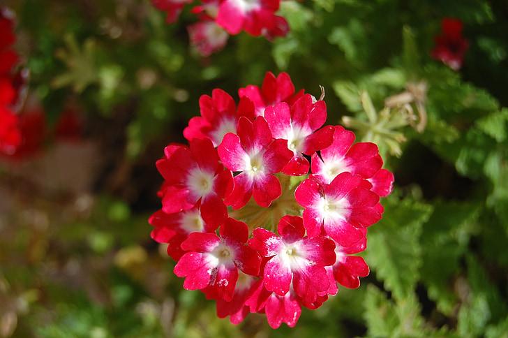 geranium, flower, bouquet, flowers, nature, spring, bouquets