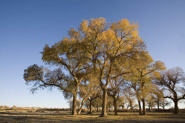 poplar, west, wilderness