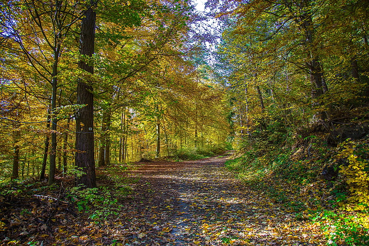 meža, lapu koku mežs, rudens, atstāj, rudens meža, koki