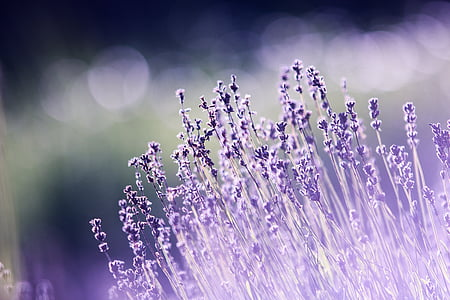 aromateràpia, bonica, floració, entelar, brillant, color, delicat