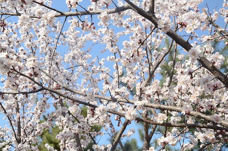 PEAR, botanische tuin, lente, plant, bloemen