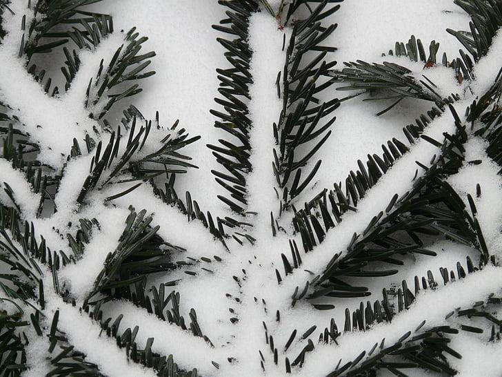 Holly, männyn neulasia, neuloja, haara, kuusen, Siperian Lehtikuusi, White fir