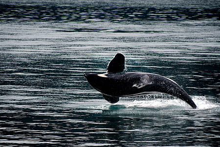 killer whale, orca, breaching, jumping, ocean, mammal, animal