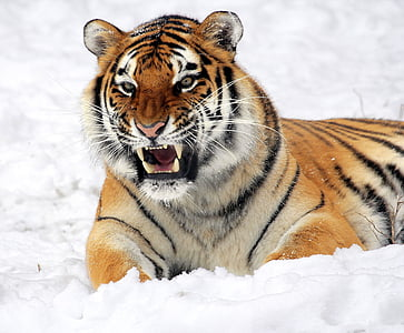 snowfield, nature, Tiger, Snow, Growling, Zoo, Big Cat