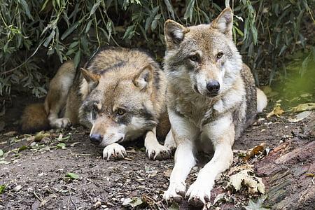 вълци, Canis lupus, два вълка, Европейски вълк, Вързоп животно, Хищникът, диво животно