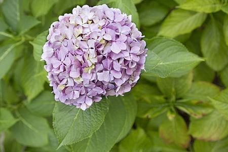 Hortensialised, lilla, õie, õis, lill, Bloom, kroonleht