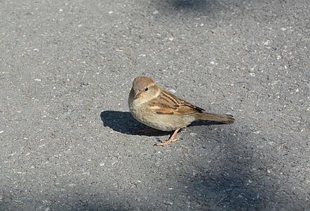 птица, врабче, животните, пера, природата, перушина, малка птичка