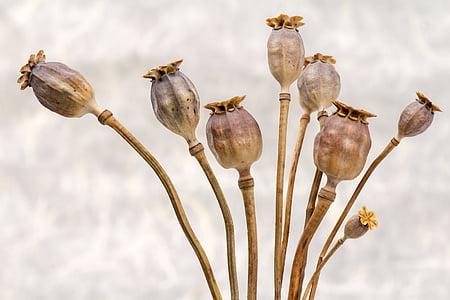 poppy, poppy-capsules, dry, plant stem, plant, nature, no people