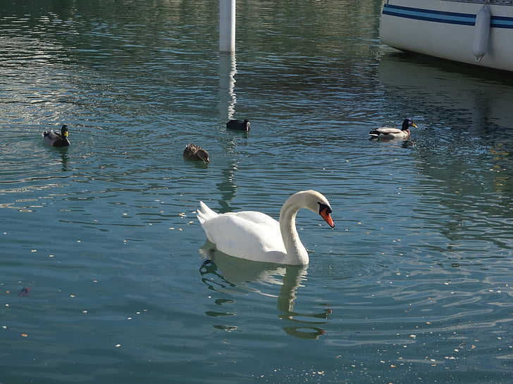 Лебедь, Лебединое озеро, Лебедь с уток