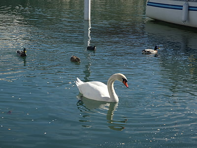swan, swan at lake, swan with ducks