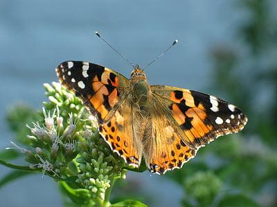Motyl, pomarańczowy, Painted lady, Natura, owad, Motyl - owad, zwierząt