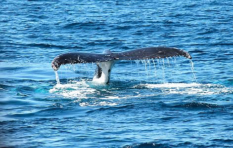 Baleine, océan, Marine, maritime, mer, mammifère marin, Splash