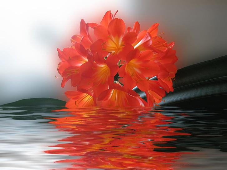 clivia, flor, vermell, brillant, real
