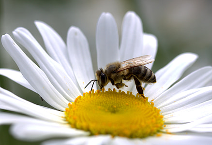 bee, daisy, pollen, work, insecta, nature, flower