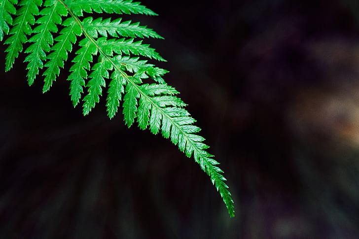 Paparčio formos šakelės, stabdžių, augalų, žalia, lapų, natūralus, sodas