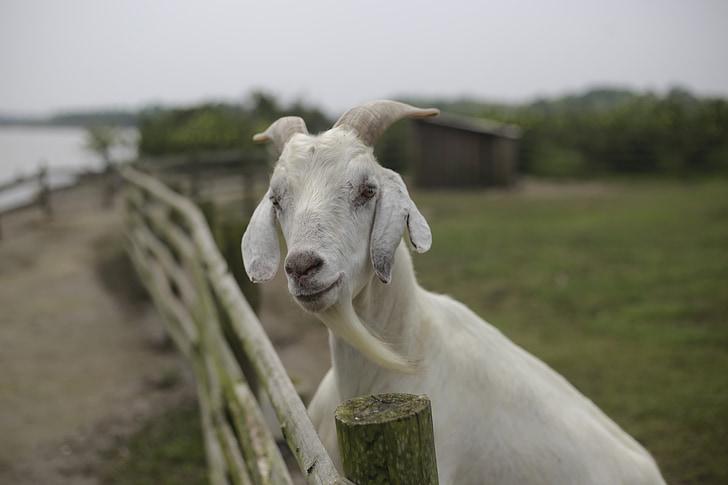 goat, lake, beard