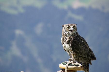 owl, raptor, b, bird of prey, bird, animal, feather