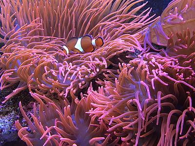 Aquari, peix, món submarí, l'aigua, colors, peix de mar, Nemo