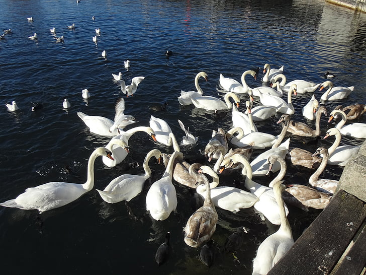 лебед, лебеди, Лебедово езеро, езерото Цюрих, вода, бяло, синьо