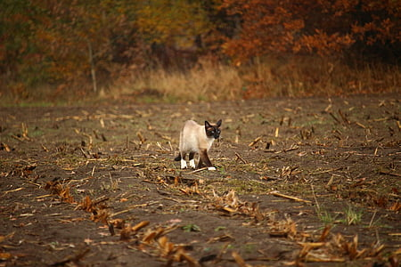 cat, siam, mieze, siamese cat, siamese, stubble, corn field