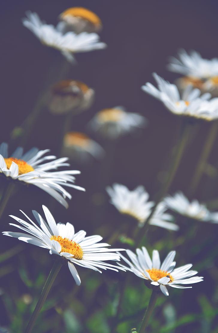 daisies, white daisies, flowers, summer, nature, daisy, flower
