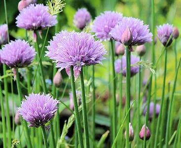 cibulet, floració, natura, planta, jardí, flor, porpra