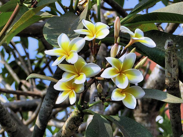 Frangipani, blomst, gul, eksotiske, Asien