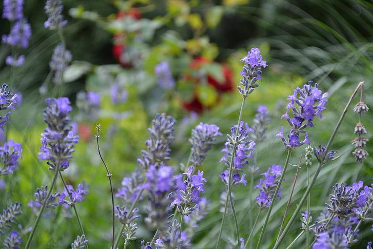Levanda, levandų gėlės, violetinė, violetinė, Žiedynas, tikrosios levandos, dekoratyvinių augalų