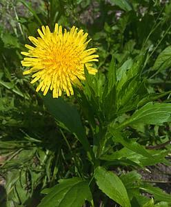 Regrat, cvetje, rumena, Huang, trava, plevela, zelena