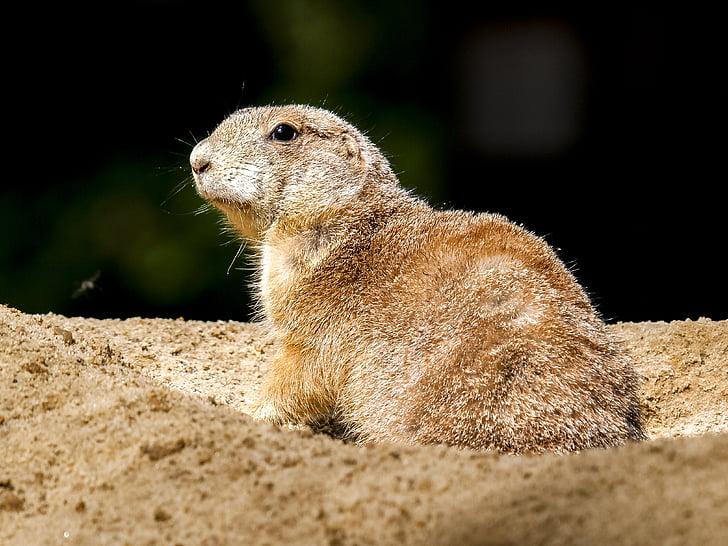 meerkat, mammal, animal, nature