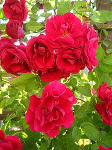 jardí, Roses, escalada roses, gelosies i bordures de Rosa, flors, flor, Rosa