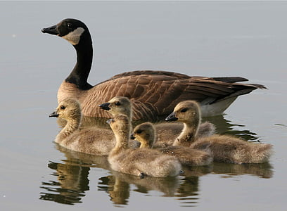 canadensis, Черни гъски, вода, плуване, потомство, птица, женски
