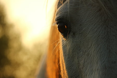 konj, kalup, čistokrvni arapski, konj oko, jesen, pašnjak, pastuh