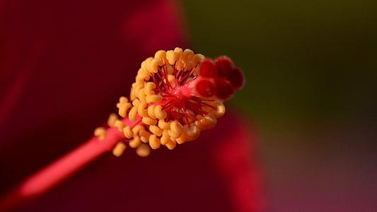 flors, vermell, Microordinador, hibisc
