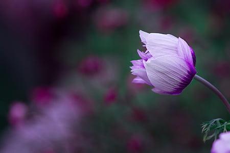 Anemone de, flor, flor, violeta blanc, bi color, flor tancat, jardí