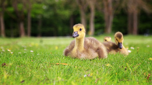 duck, young duck, bird, animal, nature, ducky, small