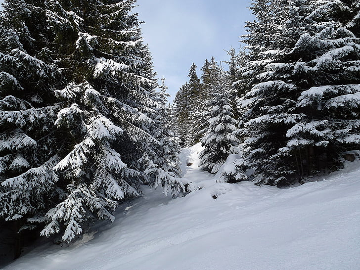 winter, forest, trees, cold, wintry, backcountry skiiing, winter forest