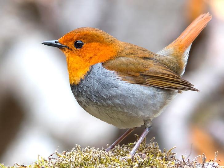 Robin, pták, japonské robin, volně žijící zvířata, zvíře, Příroda, červená