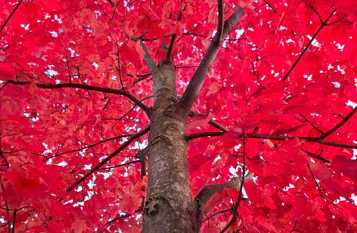 rdeča, drevo, javor, jeseni, listje, prtljažnik, dekoracija