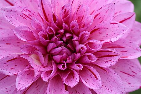 dahlia, pink, flower, nature, summer, plant, petal