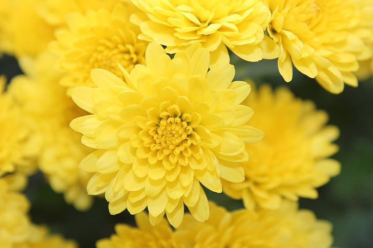 yellow, flower, garden, nature, autumn