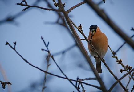 bullfinch, spring, small birds