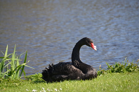 swan, mourning swan, black swan, bird, waters, birds, animal