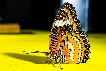 vlinder, insect, natuur, vlinder - insecten, dier, geel, dierlijke vleugel