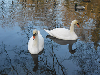 swan, swans, water bird