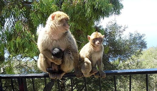 mico, Gibraltar, animal, natura, primats, jove, mare