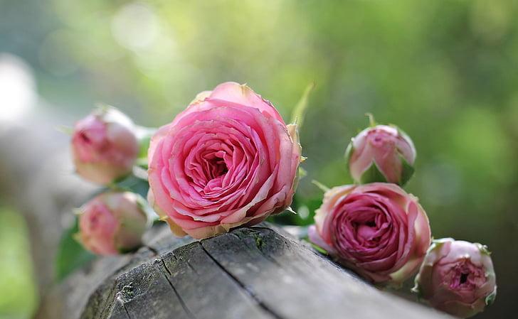 Róża, Tuleja röschen, różowych róż, Bush różyczki różowy, kwiaty, Pączek, Natura