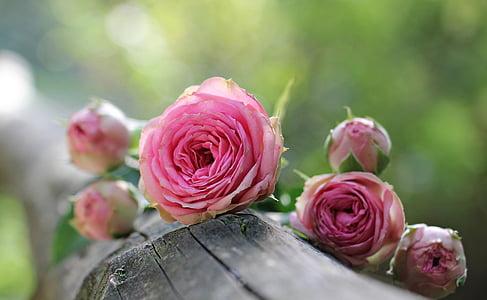nousi, Bushin röschen, vaaleanpunainen ruusu, Bush florets vaaleanpunainen, kukat, Bud, Luonto