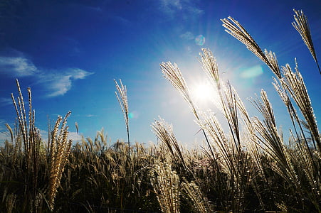 reed, sky, light, autumn, agriculture, field, growth