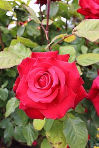 ดอกกุหลาบสีแดง, ดอกกุหลาบ, สีแดง, ดอก, บาน, สวน, โรแมนติก